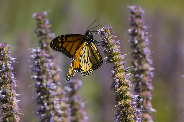 Pollinators May Benefit from Mixing Native and Non-Native Plants