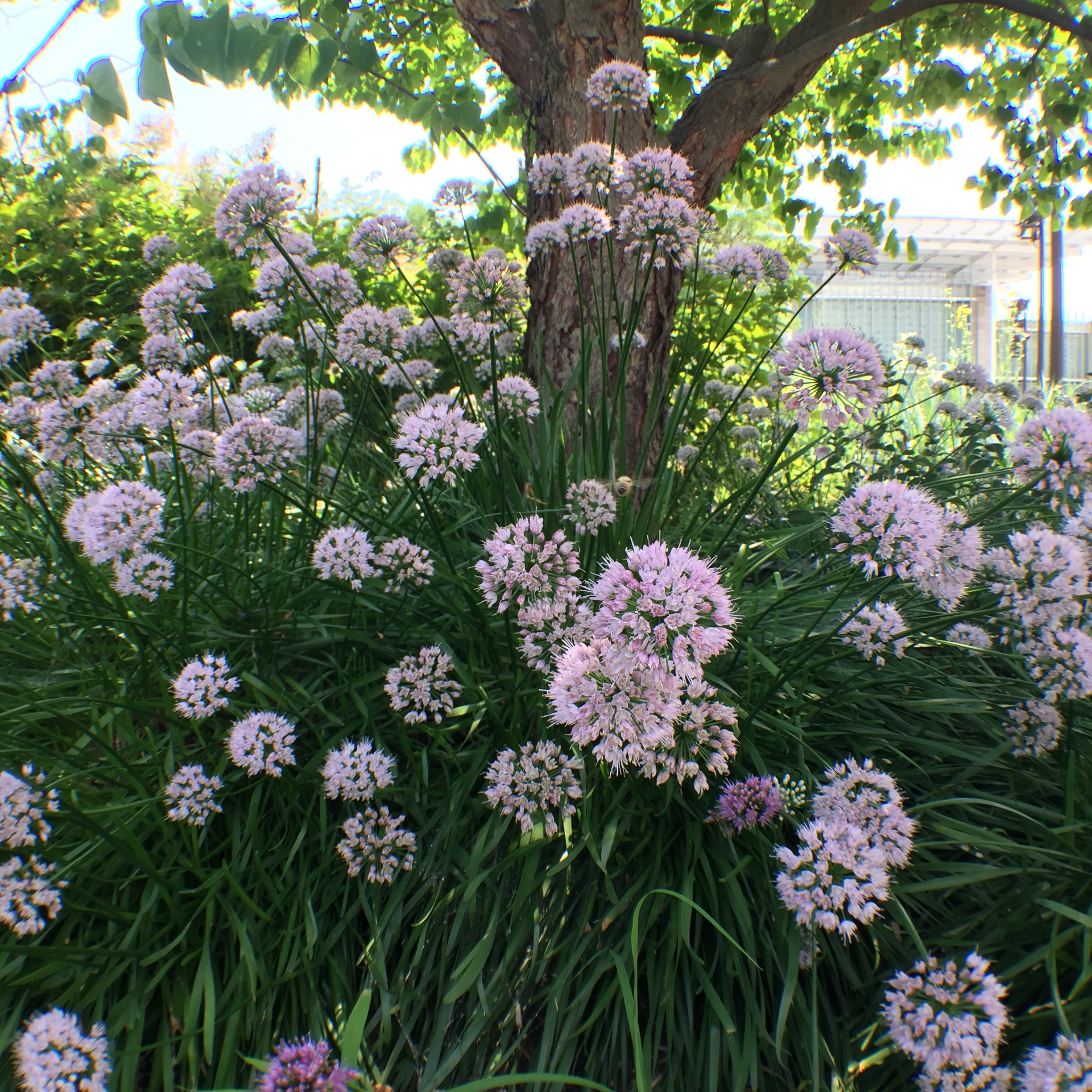 Allium -Summer-Beauty- Lurie Garden - Summer