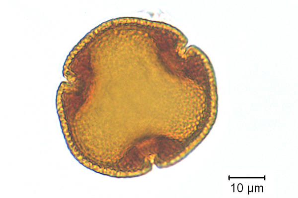 Image of a linden tree pollen grain, provided by Dr. Vaughn Bryant
