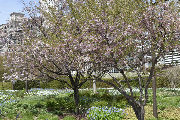 higan cherry trees - lurie garden - Spring