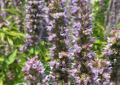 giant hyssop 'Blue Fortune'